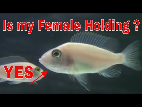 How To Spot A Holding African Cichlid & What To Do Next - African Malawi Cichlid Female Holding Eggs