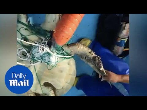 Fishermen Rescue Sea Turtle Tangled In Net