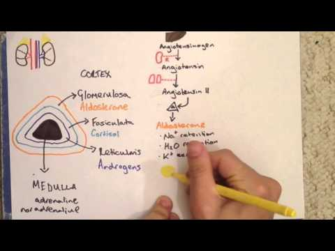 Adrenal Gland Anatomy, Physiology and Cushing's Disease
