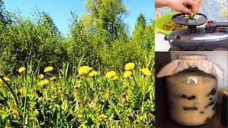 """ч. 1. Одуванчик - желтая """"таблетка"""" 🌻 для хорошего зрения. Мукополисахарид."""