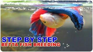 Rangkuman Cara Ternak Ikan Cupang Dari Awal sampai Akhir Untuk Pemula