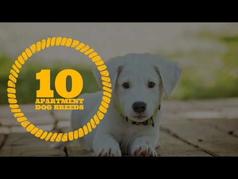 Top 10 Best Apartment Dogs | Homely Dogs | Friendly Dogs | Bull Dog | Basenji
