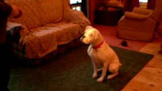 Boxer Dog Rescue- Willa Dancing With A Flashlight
