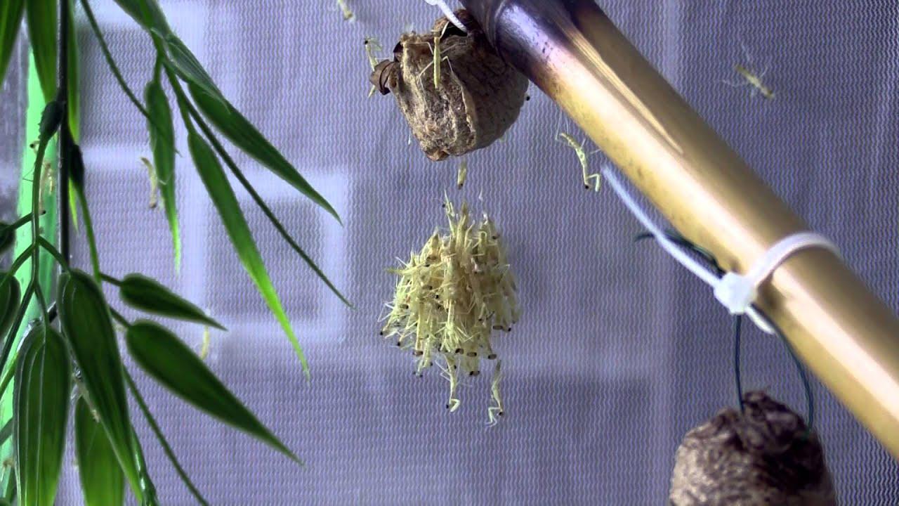 Chinese Mantis Egg Case Hatching Youtube
