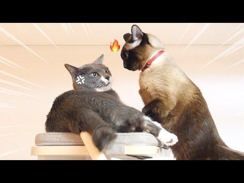 우리집 쭈굴이 고양이가 드디어 반항하는 영상