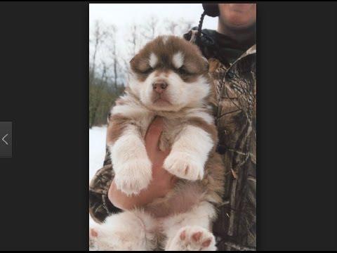 Alaskan Malamute dogs so cute - Alaskan malamute funny
