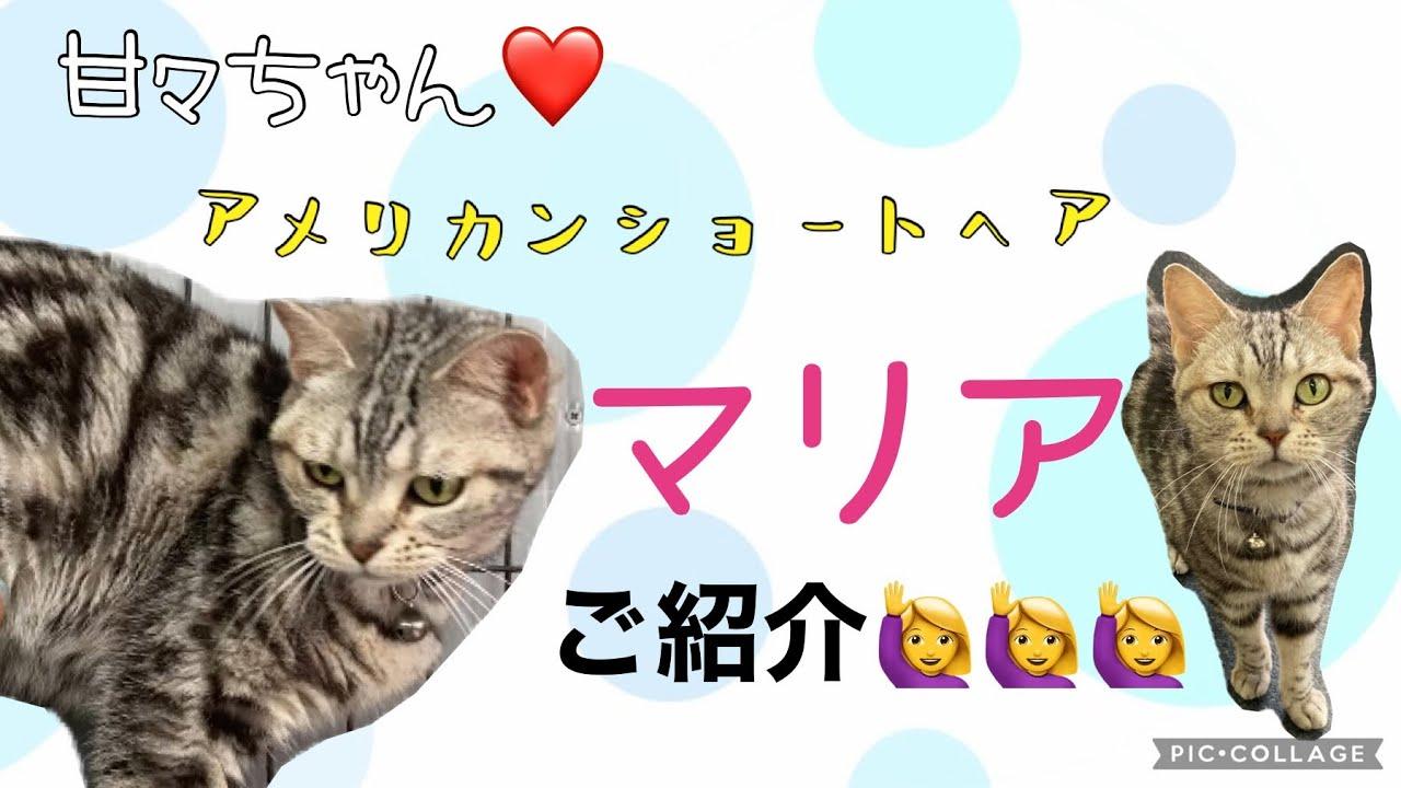 【保護猫】甘えん坊のアメリカンショートヘア🐱マリアちゃん♡ご紹介動画!!!