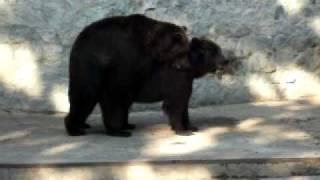 Медведи - секс в Харьковском зоопарке