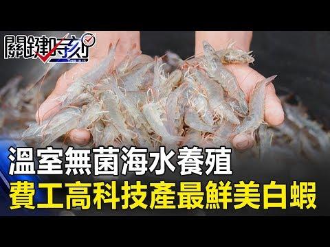 「生食等級」!?溫室無菌、海水養殖… 超費工高科技產出最鮮美白蝦! 關鍵時刻20190312-2 黃世聰 謝龍介 吳子嘉