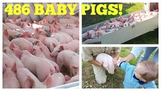 486 Baby Pigs! Hog Farm Life
