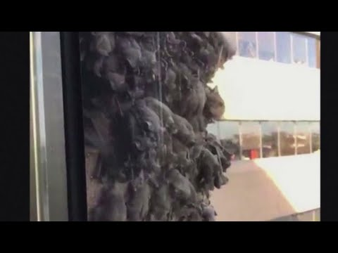 Bats hang from Texas office building on Friday the 13th
