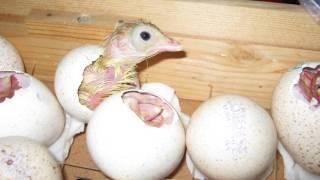 Антибиотики для цыплят в первые дни жизни. Зачем, как, а нужно ли?(Антибиотики для цыплят в первые дни жизни Многие разводчики кур категорически не рекомендуют давать антиб..., 2016-07-02T14:40:01.000Z)