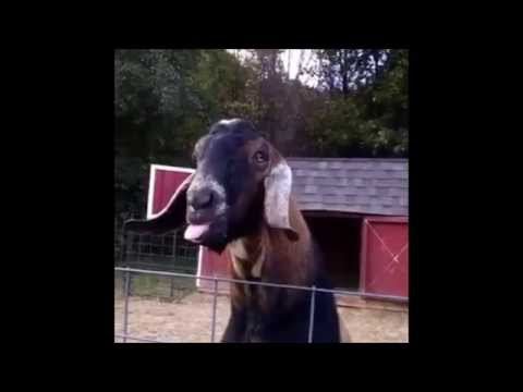 Goat making funny noise with tongue