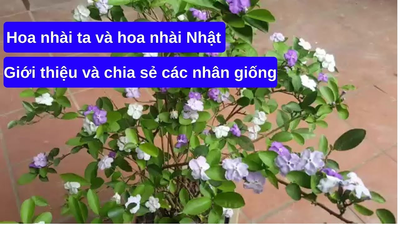 Giới thiệu và chia sẻ các nhân giống hoa nhài ta và hoa nhài Nhật