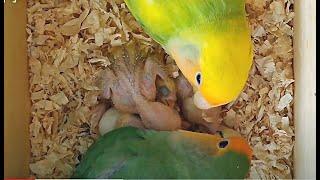 Agapornis dando de comer a sus pequeños