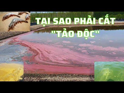 cách diệt tảo đỏ trong ao nuôi tôm