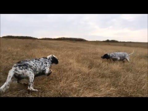 Bıldırcın avı - Setter Ferma (  Slow Motion ) Özel Çekim