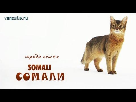 Порода кошек Сомали. Сомали кошка