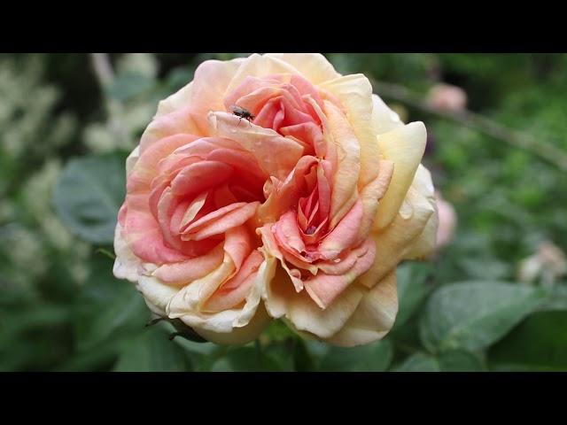 1 minuut natuur: rozen