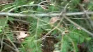 Gelinotte Huppé (poule des bois) Perdrix et ses 9 oeufs