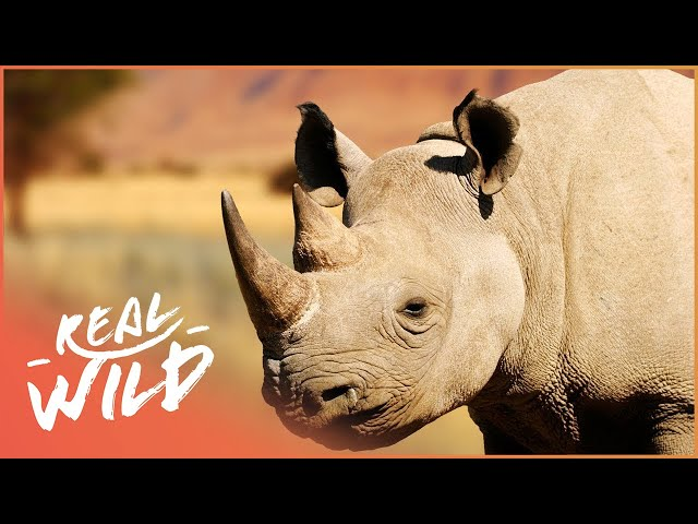 Ramu The Rhino Is Searching For A Female   Wild Family Secrets   Wild Things Shorts