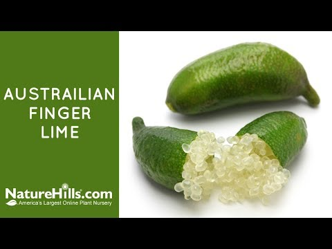 Australian Finger Lime | NatureHills.com