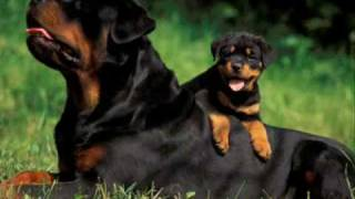 Rottweiler Vs Doberman (lo Ultimo)