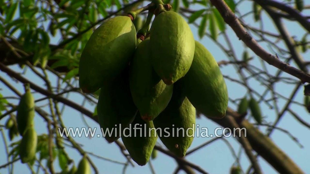 Ceiba pentandra silk cotton Java kapok Ceiba tree