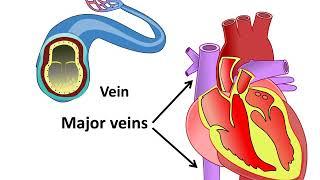 हृदय कैसे काम करता है - Blood Circulation through heart - in Hindi