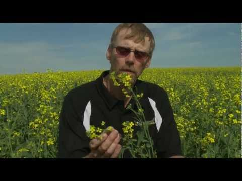 Canola Farmer Tim Wiens Describes a Canola Plant YouTube