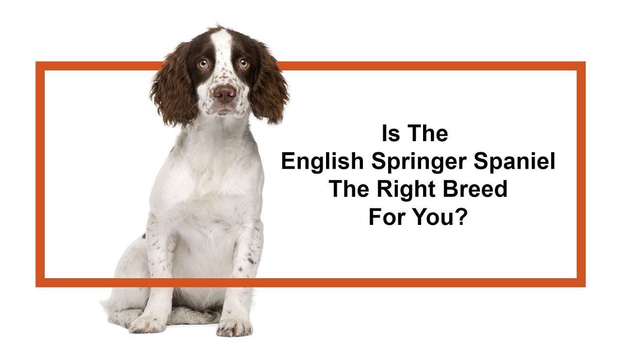 English Springer Spaniel Puppies - Petland Iowa City