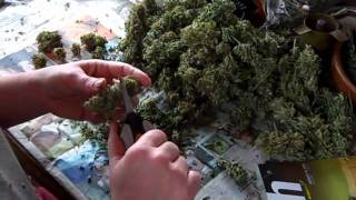 Monterey Medical Marijuana: How to trim your Med's