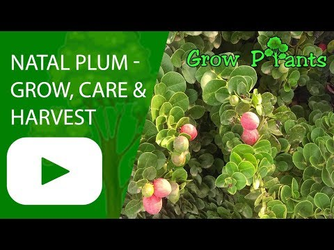 Natal Plum - Grow, Care And Harvest Fruits (Carissa Macrocarpa)