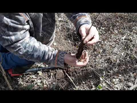 Tulip  Poplar Planting