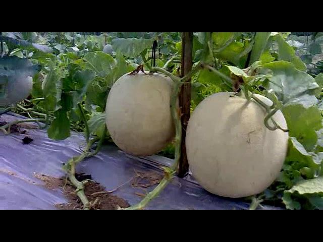 Budidaya Melon Secara Organik 1 Batang Buah 3 5 Super Youtube