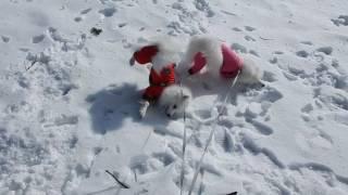 雪にスリスリして遊ぶるるメル.