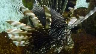 pez leon venenoso pez escorpión lionfish acuario zoologico in zoo Wikipedia FULL HD