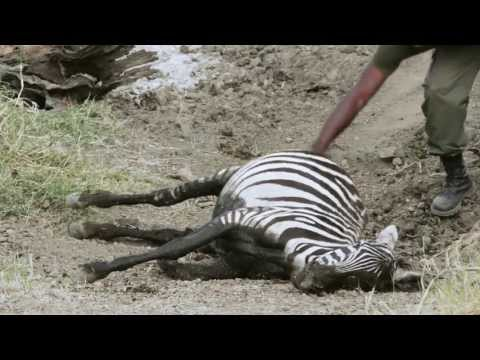 African safari. Failed zebra rescue. Serengeti National Park, Tanzania. Гибель зебры в Серенгети