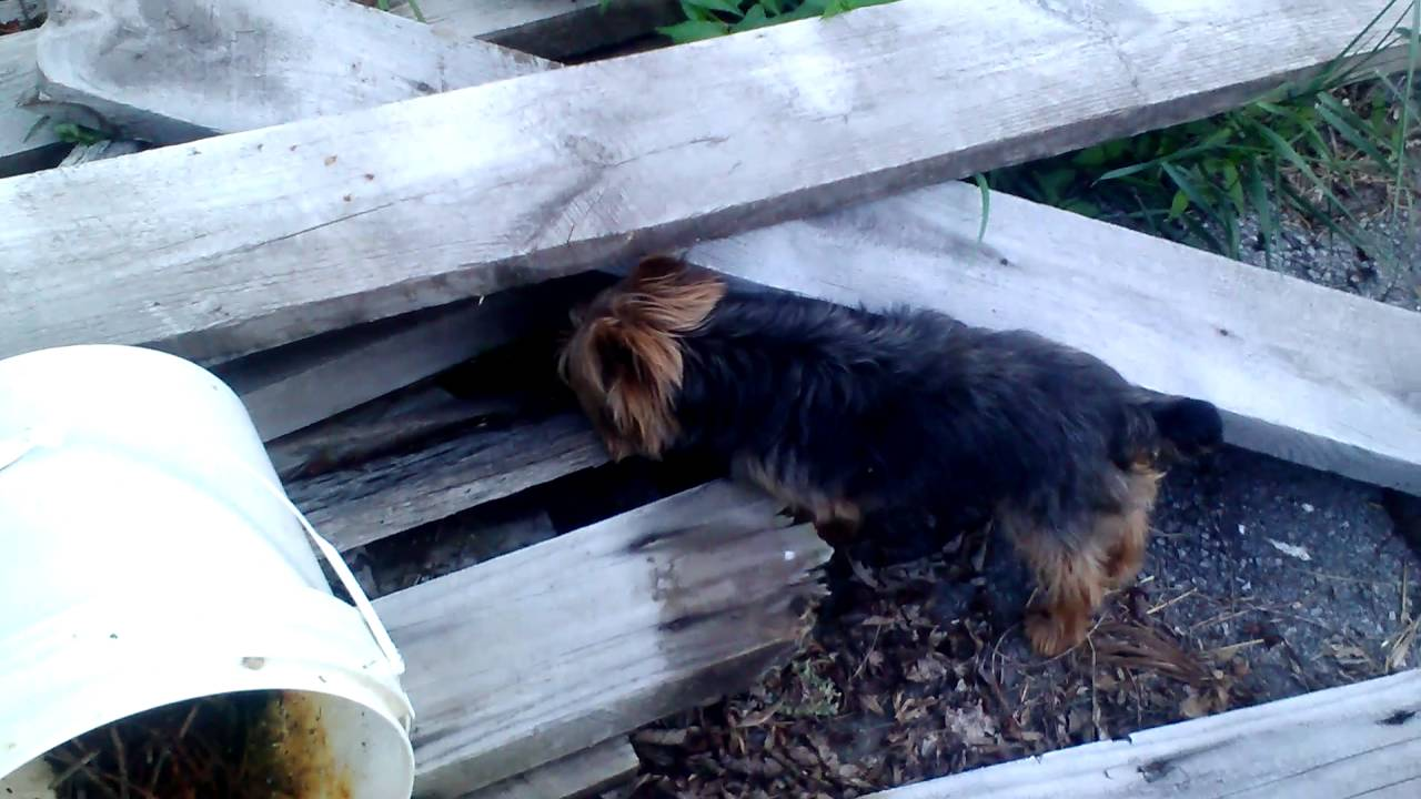 Yorkie Hunting A Mouse June 30 2016 Youtube