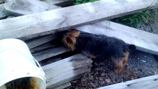 yorkie hunting a mouse June 30, 2016