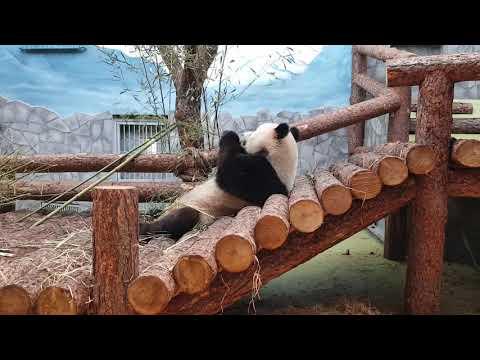 Eating giant panda