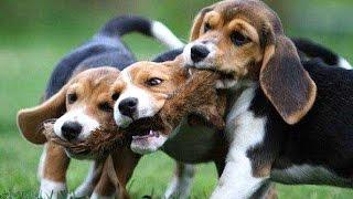 Щенки Бигля - Самые Смешные и Милые. Silky Beagle Puppies. Одесса.