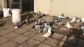Color Voute Pigeons. July 22, 2017
