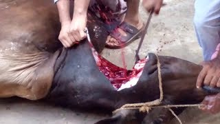 Dangerous Cow Qurbani 2018 || Eid Ul Adha Qurbani Video