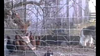 border collie i kury