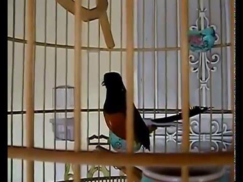 Chim Chích Chòe Lửa hót rất căn - 2