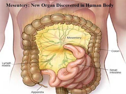 Mesentery: New Organ Discovered in Human Body - YouTube