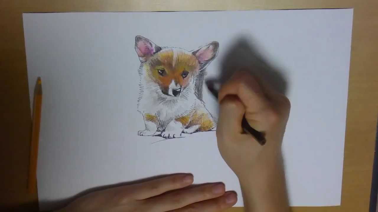 Drawing A Dog Puppy Welsh Corgi From Scratch With Color