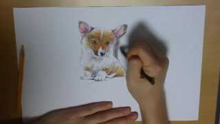 Drawing A Dog(puppy), Welsh Corgi, From Scratch With Color Pencils