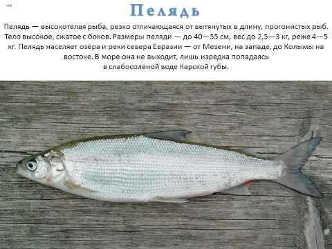 Рыба вьюн фото описание — Здесь рыба